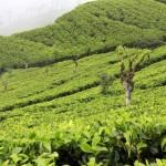 Tea Beginnings in Sri Lanka