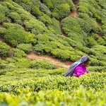 Care for Some Ceylon Tea?